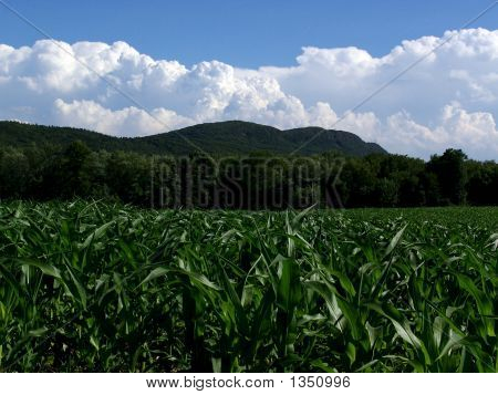 Mt Tom With Young Corn Plants