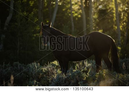 beautiful backlit black stallion horse