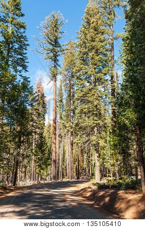 Road through the Giant Sequoias Forest. Sequoia National Forest in California Sierra Nevada Mountains