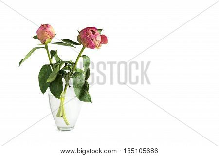 two dried peony flower in a vase on a white background