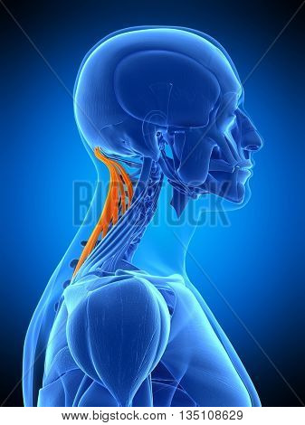 3d rendered, medically accurate illustration of the semispinalis capitis