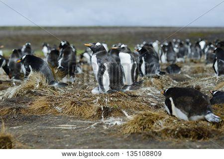 Colony of Gentoo penguins (Pygoscelis papua) at Volunteer Point Falkland Islands