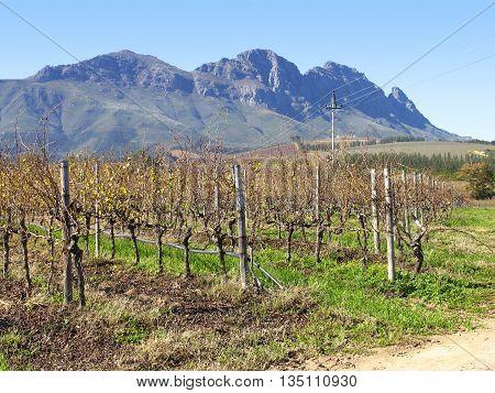 Stellenbosch, Grape Farm, Cape Town South Africa 23