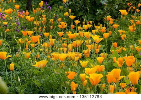 The best-known is the California Poppy (Eschscholzia californica) the state flower of California