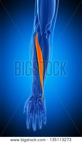 3d rendered, medically accurate illustration of the extensor carpi ulnaris