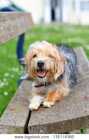 A black & tan terrier lying panting on a bench