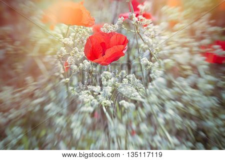 Beatiful meadow flowering - poppy flower between white flowers