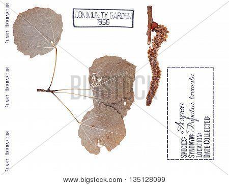 Herbarium aspen tree. Leaves buds aspen tree isolated on white