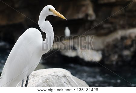 Florida Great Egret standing on rock in the summer