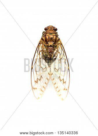 Auchenorrhyncha Or Cicadinea Isolated On White Background.