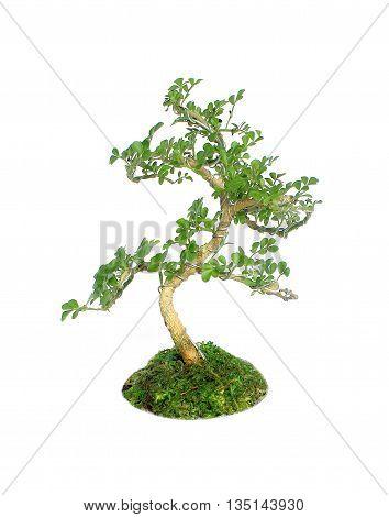 Bonsai tree Isolated on white background texture
