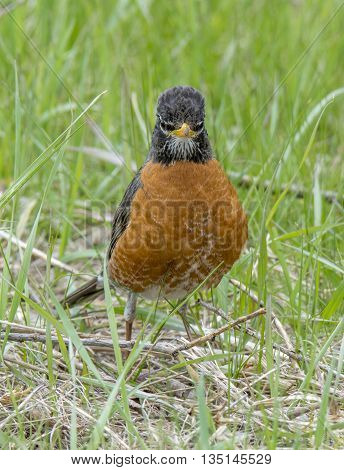 An American Robin stands patiently looking and listening for the movement of an earthworm in a patch of midwestern grass.
