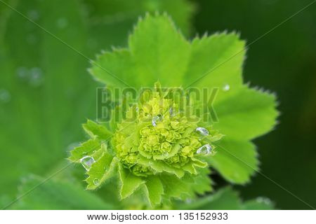 Wet Lady's mantles leaves in green with small yellow flower buds (Alchemilla vulgaris) during summer in Austria, Europe