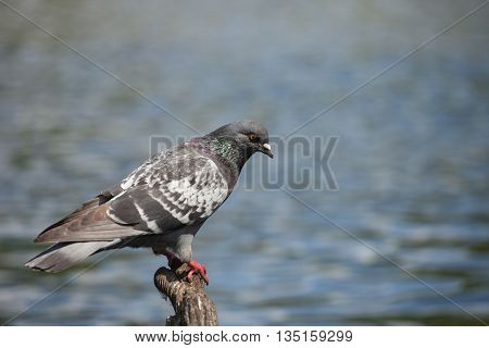rock pigeon (Columba livia domestica) sitting on a piece of wood