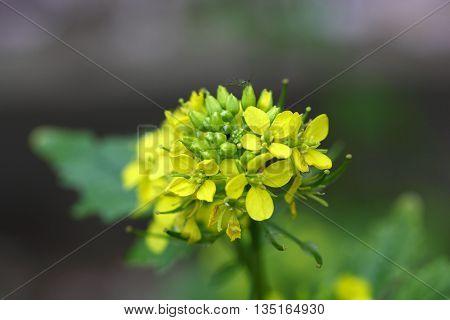 Macro photo of White mustard (Sinapis alba) flowers. poster