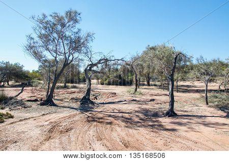 Native flora in the bushland landscape on the Murchison River banks in Kalbarri, Western Australia under a clear blue sky.