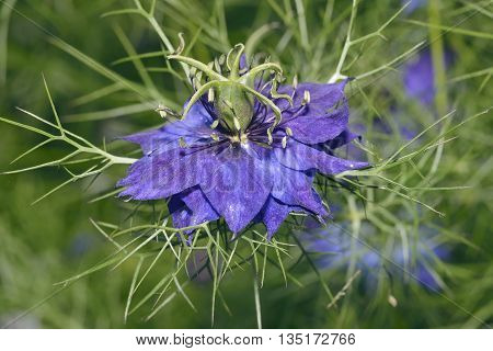 Love In A Mist - Nigella damascena Garden flower escape