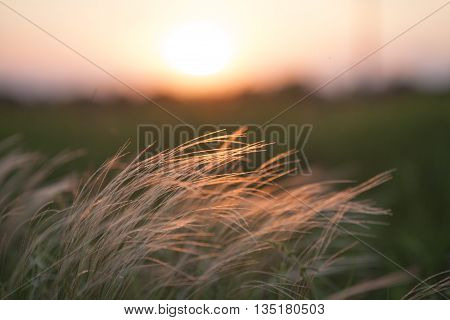 Feather grass in wind at sunset in the green field