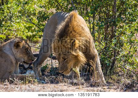 Animals of South Africa. Well-known national park of Kruger. Gentle lion's love appointment. The lion and lioness have a rest in the park savanna
