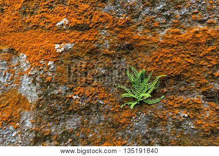 Orange lichen and moss on stone wall with Asplenium trichomanes fern plant alone