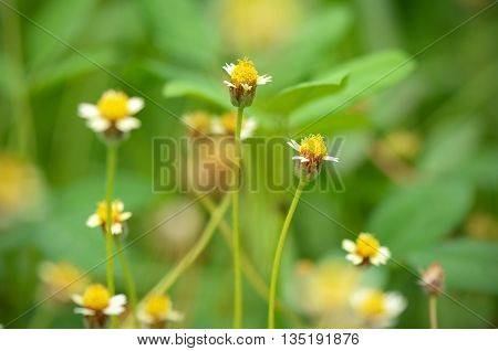 Maxican Daisy Flowers (tridax Procumbens (l.) L.) On Natural Green Background.