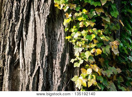 Wild ivy growing on the bark of tree, natural background.
