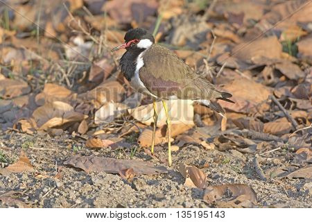 Red-wattled Lapwing in the Wilds of Kanha National Park in India