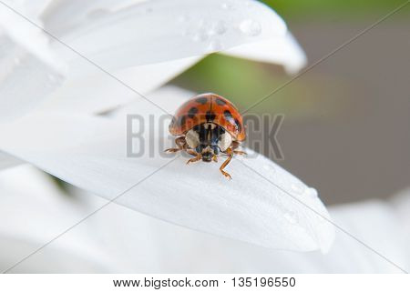 Close up of a ladybug on a white flower