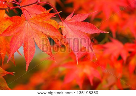 Red Maple Leaves with Green Background in Colorful Autumn