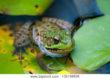 A cute green frog up close in water