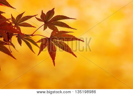 Red Maple Leaves with Yellow Background in Colorful Autumn