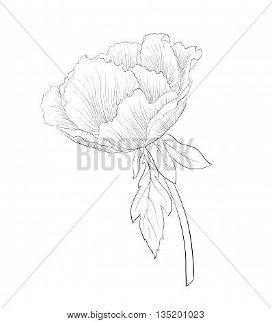 beautiful monochrome black and white Plant Paeonia arborea (Tree peony) flower isolated on white background. Hand-drawn contour lines and strokes.