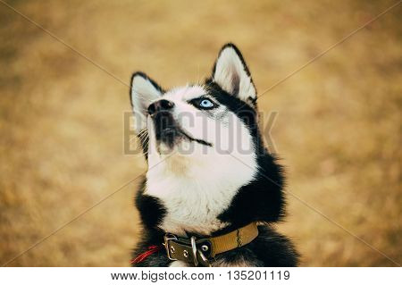 Close Up Young Happy Husky Puppy Eskimo Dog Looking Up Outdoor In Autumn