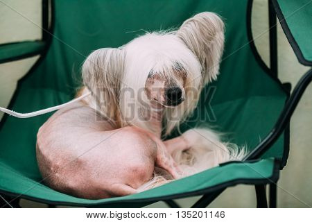 Young White Chinese Crested Dog Sit In Chair. Hairless Breed Of Dog. Light Skin.