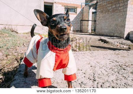 Angry Black Miniature Pinscher Pincher Barking Outdoor