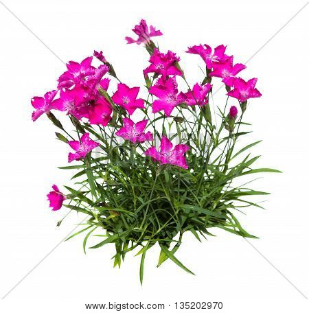 Feather Carnation Or Dianthus On White Background.
