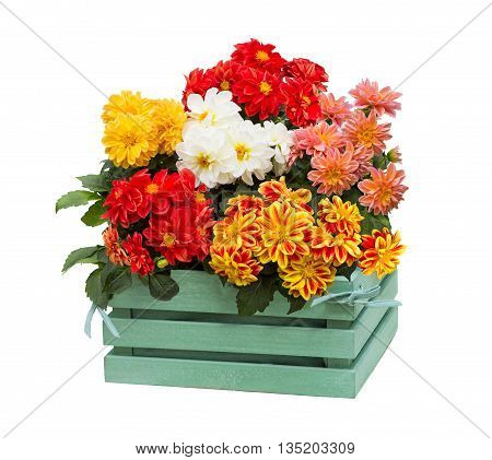 Dahlia Flowers In A Green Wooden Box.
