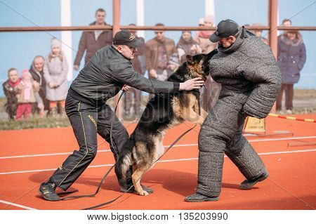 Gomel, Belarus - March 12, 2016: German shepherd dog training. Biting dog. Alsatian Wolf Dog. Deutscher, dog