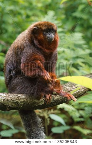 Portrait of an adult Coppery titi (Callicebus cupreus) on a tree