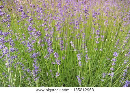 Photo of Lavender flowers in Podebrady, Czech republic