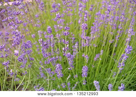 Photo of Lavender flowers in Podebrady, Czech republic