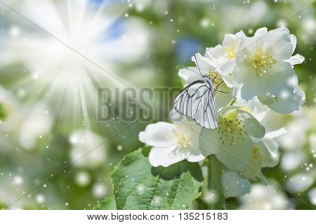 Spring background with butterfly on jasmine in the sunshine