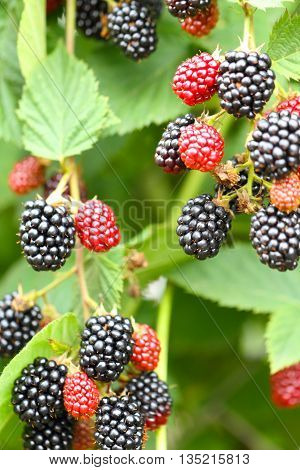 red and black blackberries grow on shrub