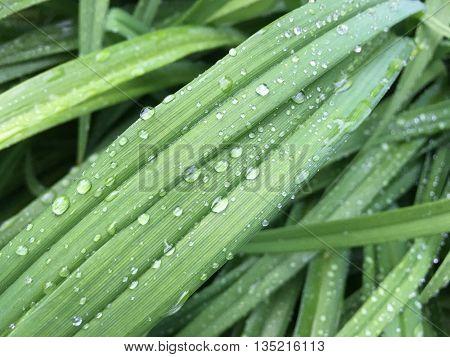 mildew on green grass on sunrise after rain