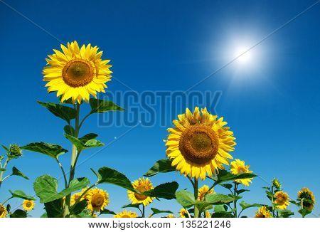 sunflower field over cloudy blue sky