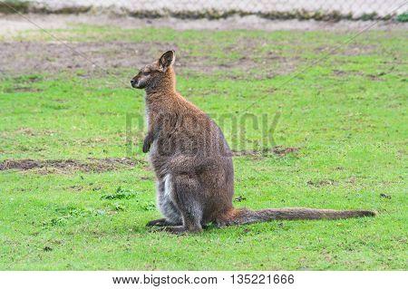 Kangaroo swamp wallaby (Wallabia bicolor) (Macropus giganteus) in its natural habitat in the grass.