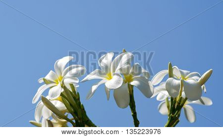 white plumeria flowers closeup on green background