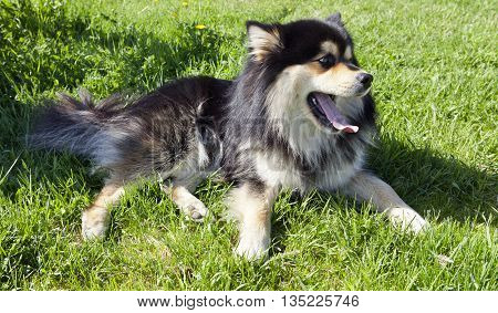A dog rest in the grass in some shadow. Closeup on a Finnish Lapphund.