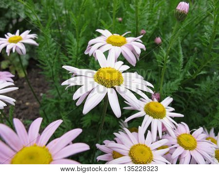 Pink flowering Tanacteum,  Tanacetum coccineum, in garden