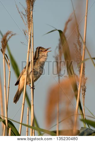 PolandSinging Great reed-warbler (Acrocephalus arundinaceus) sitting on a reed on the banks of a pond in the spring sunny morning. Clearly visible orange inside the beak Vertical side view